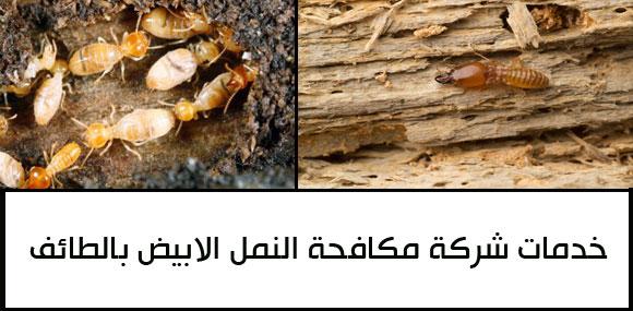 مكافحة النمل الابيض بالطائف